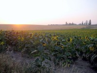 sunflowers-along-the-way