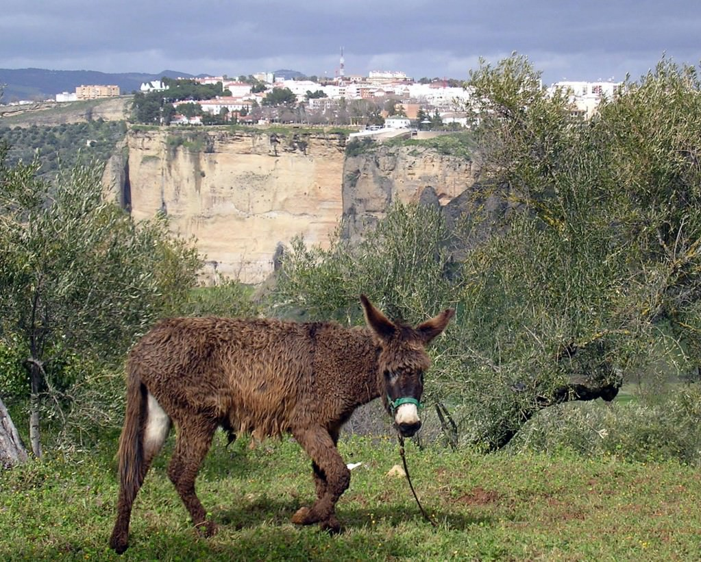 Donkey in olive groves with Ronda in the background