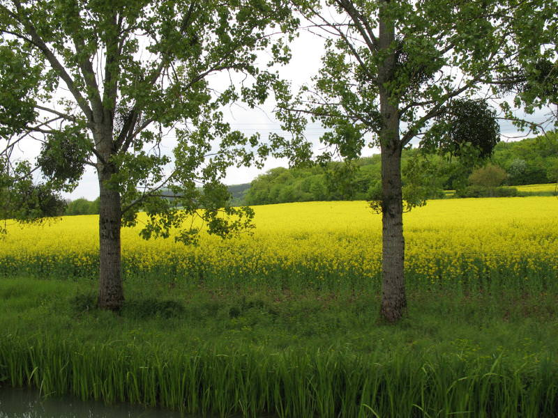 rapeseed field and trees in the french countryside