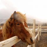 Experience Iceland by Horseback