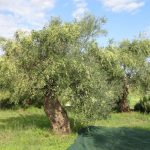 Hand-Picking Olives in Greece
