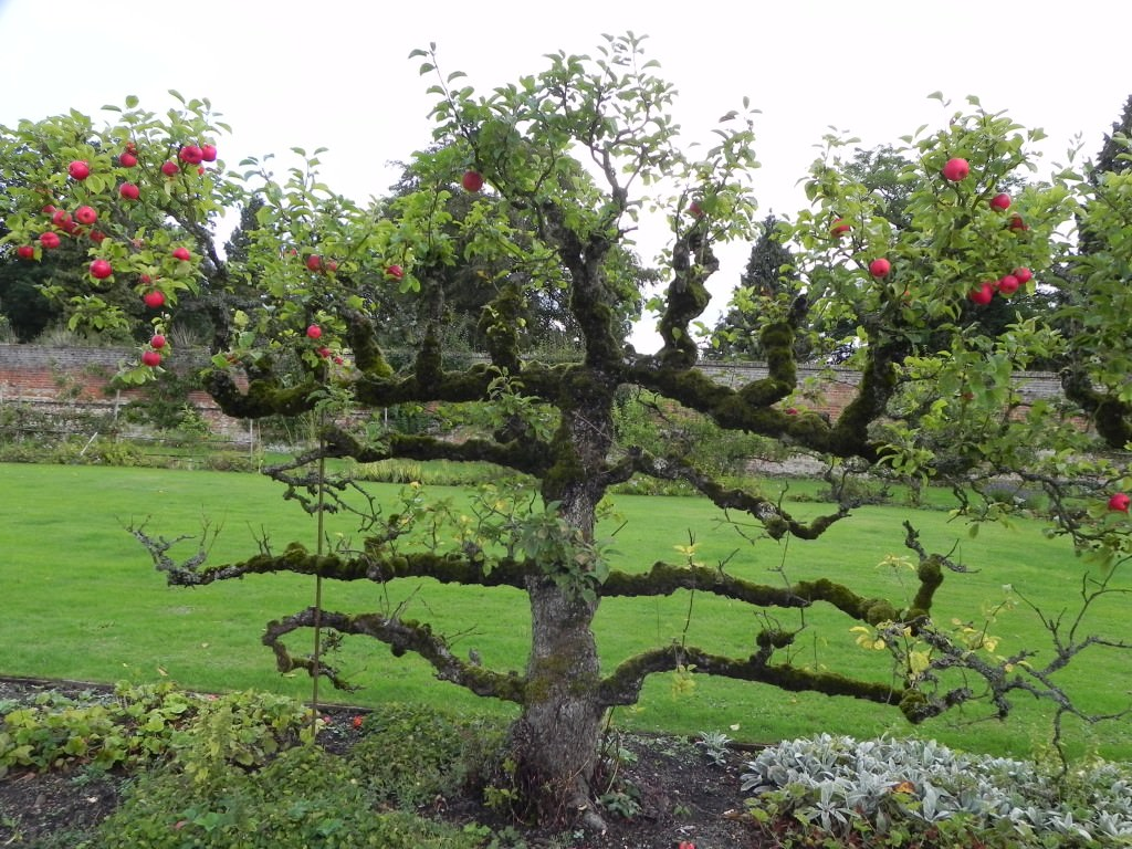 Fruit tree at Kentwell Hall