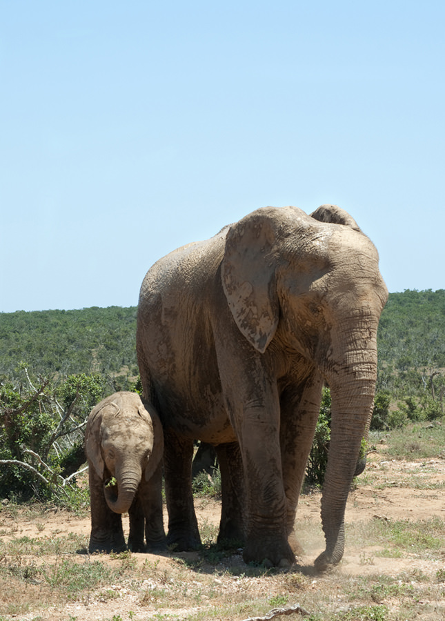 Mom and baby elephant by Pharos (Julie H. Ferguson)