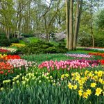 Tulips in Holland: Enjoying a Spring-Time Cruise from Amsterdam