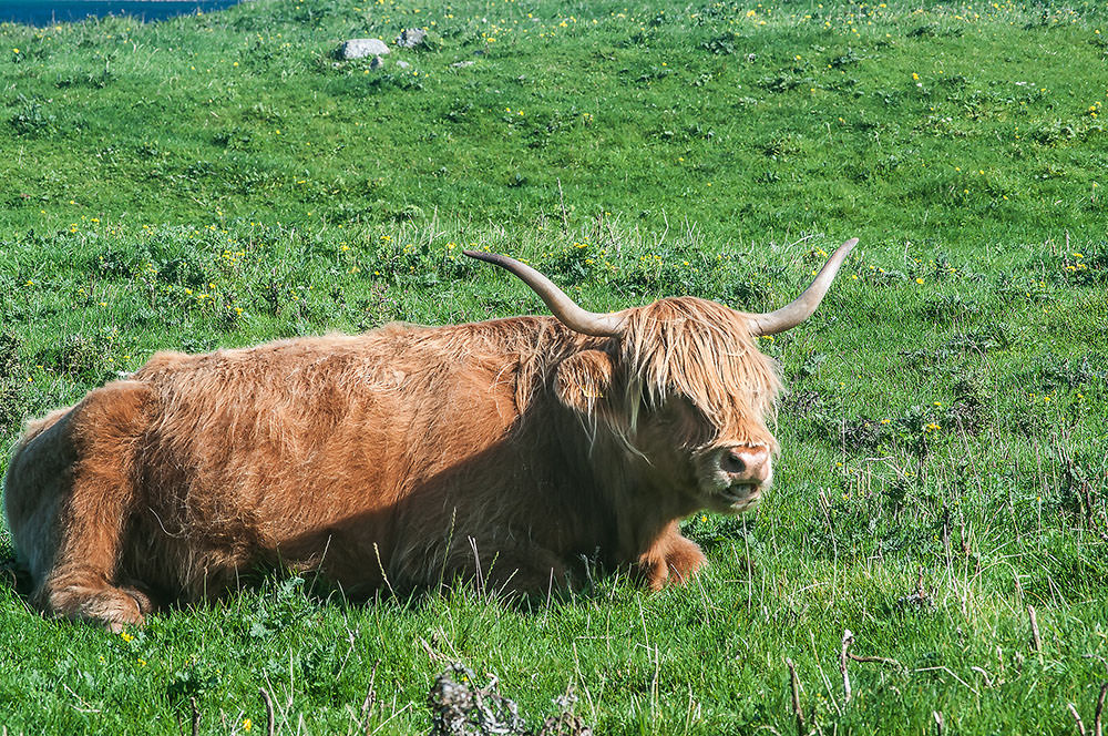 Although the Highland Cattle look fierce, I found them placid and friendly.