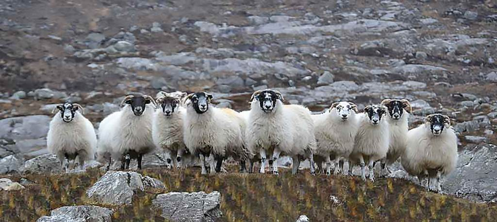 Without the sheep there would be no Harris Tweed. Courtesy: Harris Tweed and Knitwear