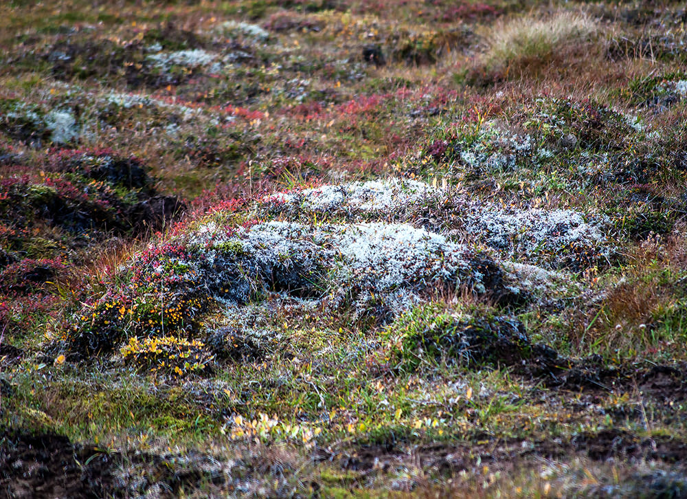 The sub-Arctic plants on the mountain sides show off their fall colors. Sheep graze here in summer and the plants flavor their meat, which is served everywhere in the famous lamb stew.