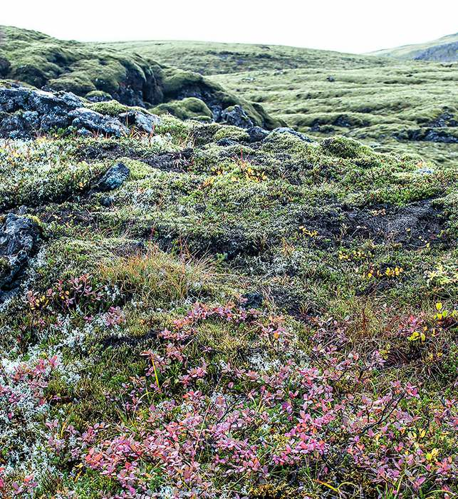The grey-green mosi, moss, (top) is like a cushion; almost white Reindeer lichen (left) branches into delicate twigs; and the red low-growing plants (centre) are berry bushes. Icelandic sheep browse on these all summer, flavoring their meat.