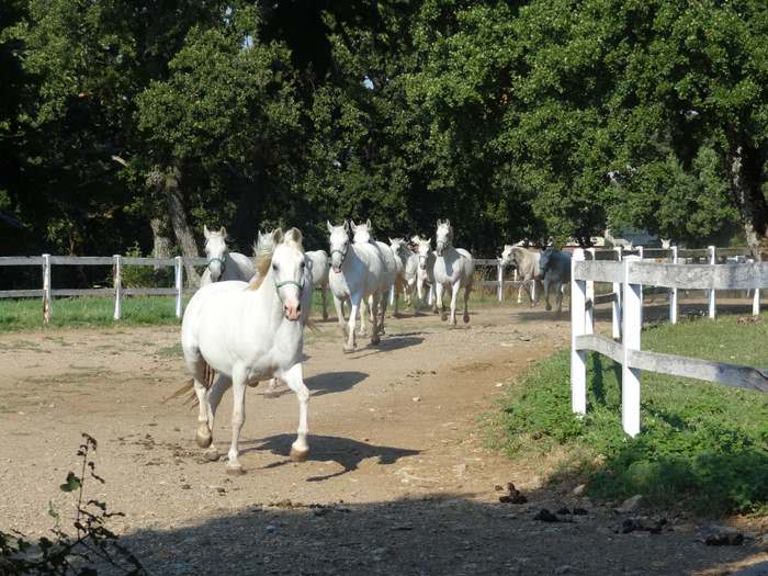 Lipizzaner mares running to pasture