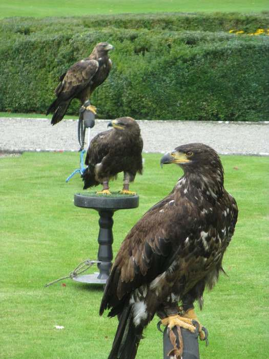 Falconry is one of the sports available at Adare Manor , one of Ireland's best hotels.