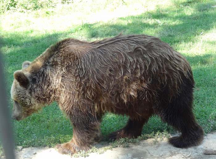 Bears love the relief of wet fur on a hot day at the LiBearty bear Sanctuary