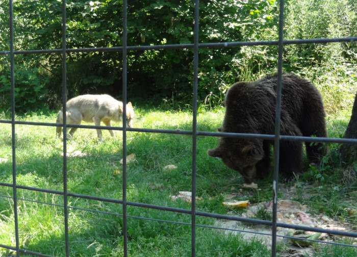 Luna the wolf and her BFF, Ina the bearat the LiBearty bear Sanctuary