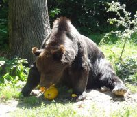Blind maligned Max enjoys his fruit treats at the LiBearty bear Sanctuary