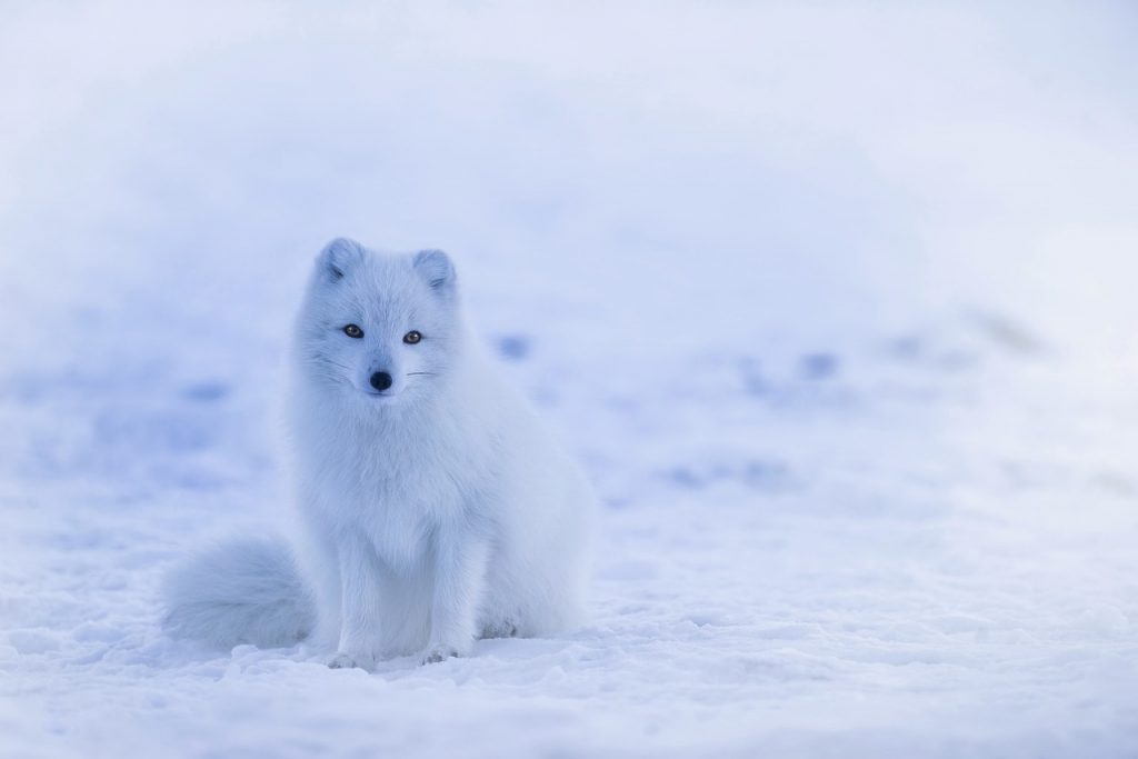 Photos of Iceland's Wildlife: Arctic Fox