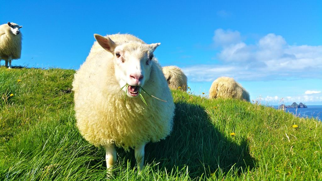 flock of sheep on a green meadow in iceland