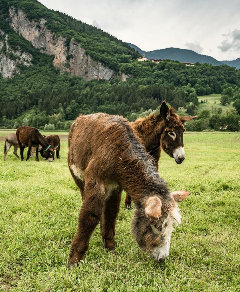 Visit Trentino - Happy Donkeys at AgriLife Donkey Farm in Trentino Italy