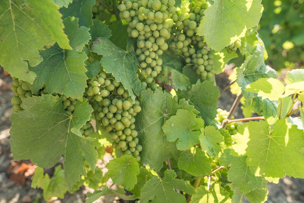 Champagne Grapes in a Vineyard | Luxury Barge Cruises in France