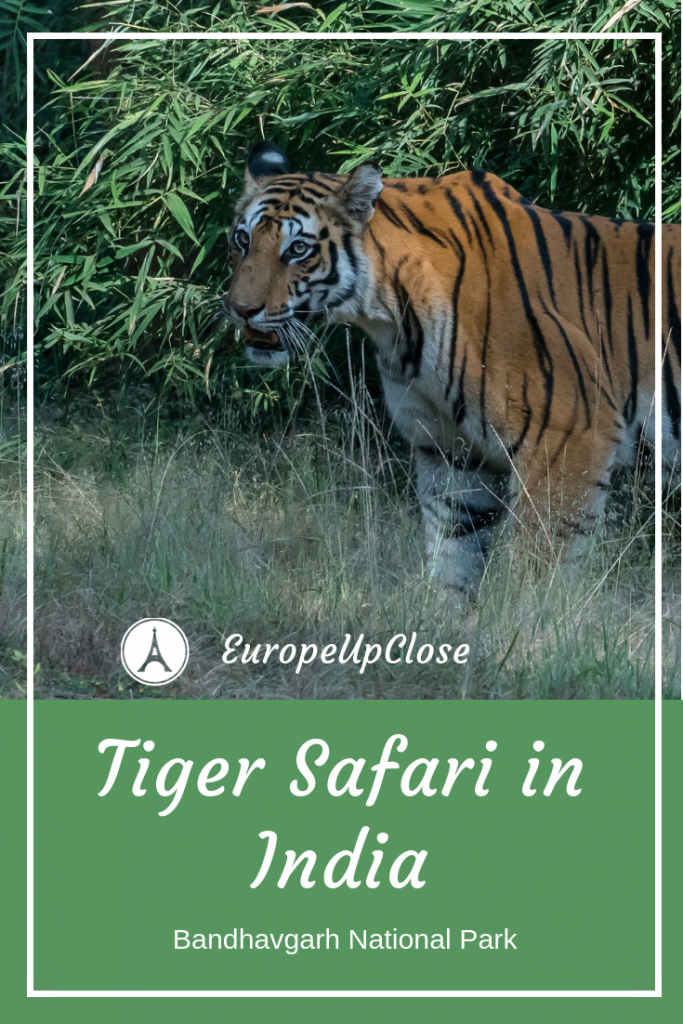 Tiger Safari in India Bandhavgarh National Park #India #tiger #Safari #indian #Travel #wildlife #ecotourism #ecotravel #sustainabletravel #cats #wildlife #conservation