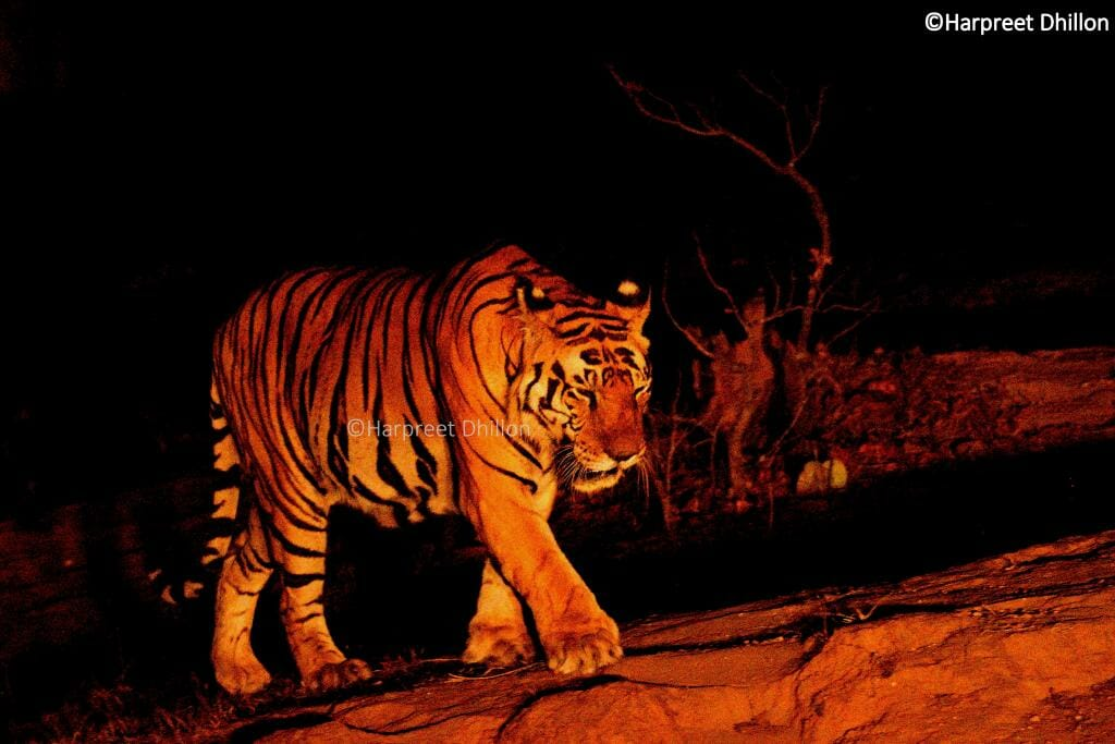 Photo Credit Harpreet Singh - Pugdundee Safaris - Kanha Safari - Tiger Safari Kanha National Park - Tiger Muna- Tiger Conservation in India