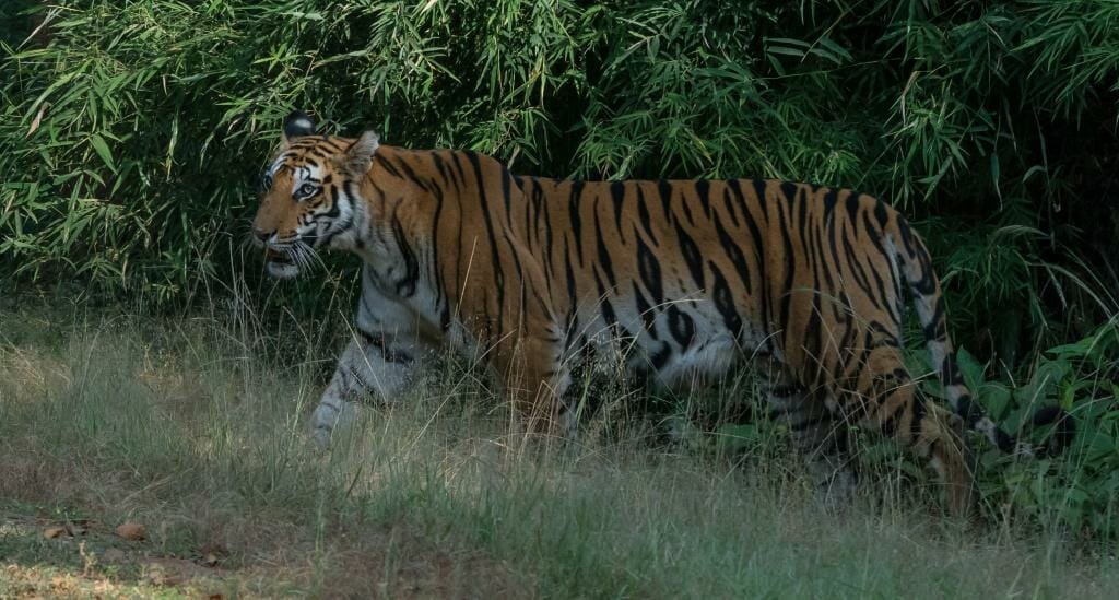 National Park Bandhavgarh - Tiger Conservation in India - Pugdundee Safaris - Bandhavgarh Safari - Tigress Spotty