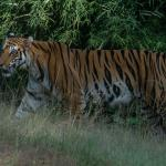 Chasing Tigers in India: National Park Bandhavgarh