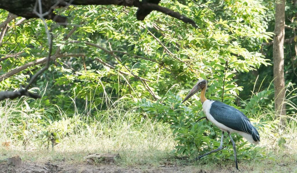 Birding at National Park Bandhavgarh - Wildlife Conservation in India - Pugdundee Safaris - Bandhavgarh Safari - Greater Adjutant in Bandhavgarh