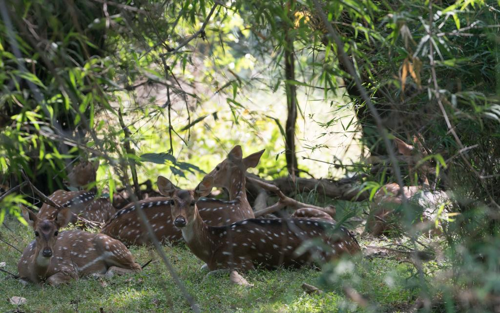 Axis Deer Resting in the Shade - Bandhavgarh National Park - Wildlife Conservation in India - Bandhavgarh Safari - Pugdundee Safari
