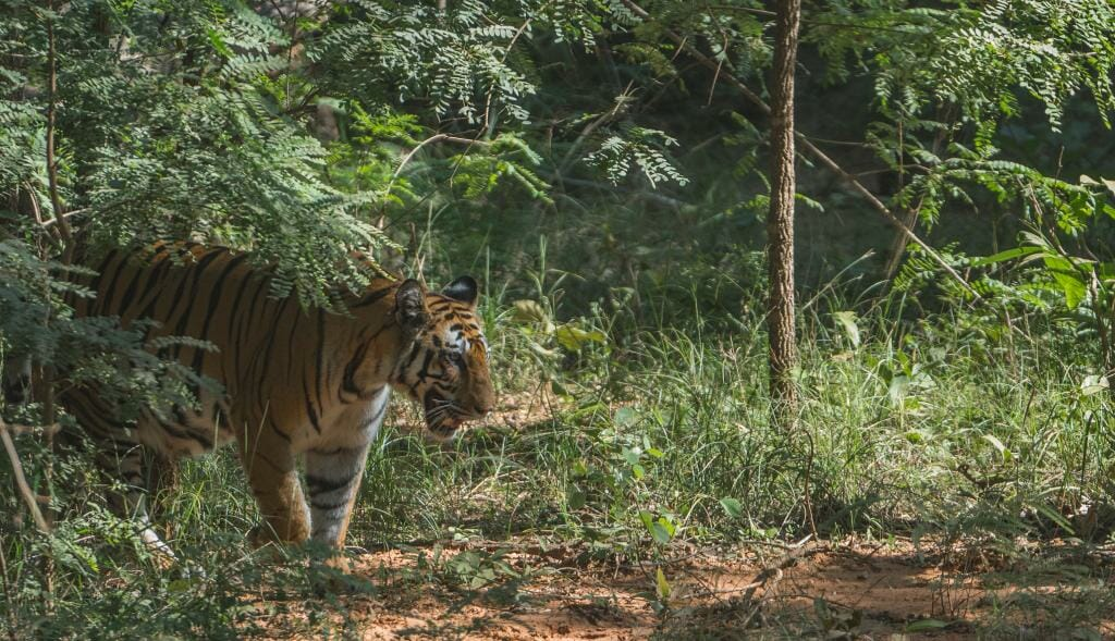 National Park Bandhavgarh - Tiger Conservation in India - Pugdundee Safaris - Bandhavgarh Safari - Spotty Tigress in Bandhavgarh