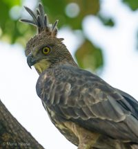 Crested Hawk Eagle at National Park Kanha Madhya Pradesh India