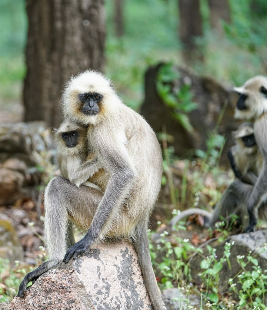 Monkey and Baby Monkey at National Park Kanha - Pugdundee Safari - Madhya Pradesh India