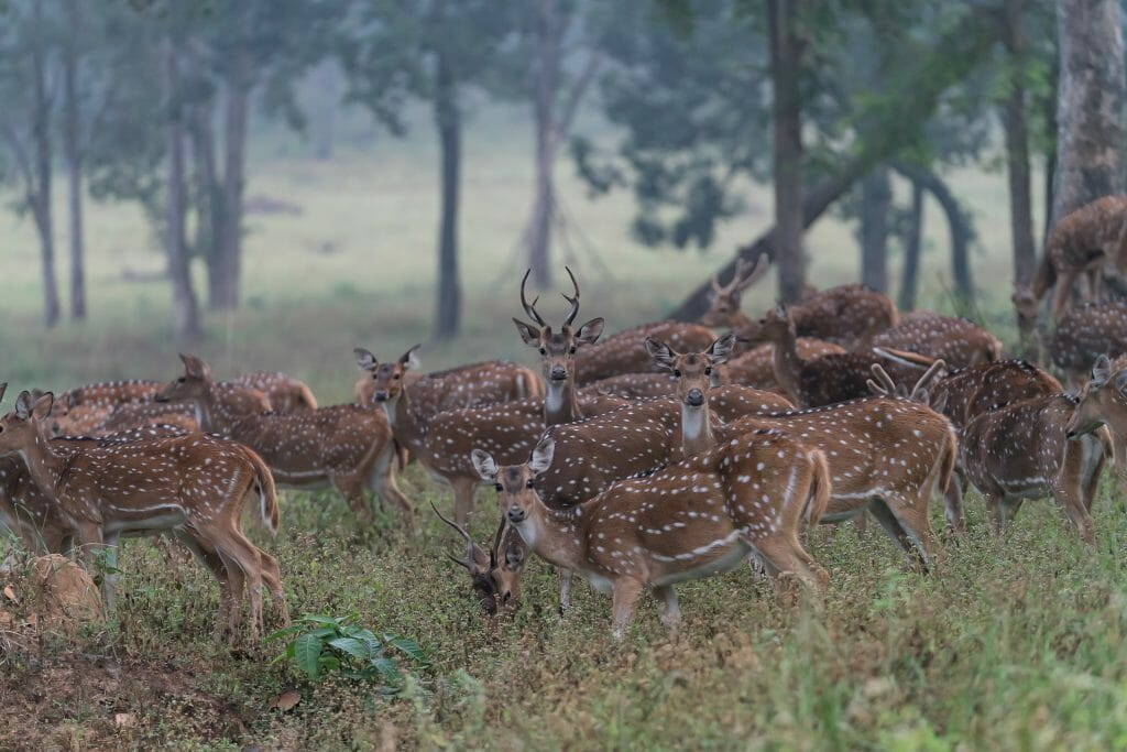 Spotted Deer at National Park Kanha Madhya Pradesh India