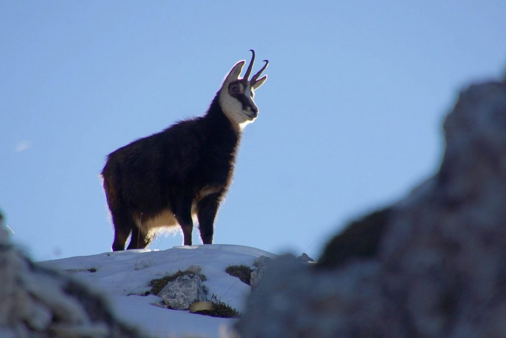 Cute little mountain goat standing on a mini snowy peak very proudly