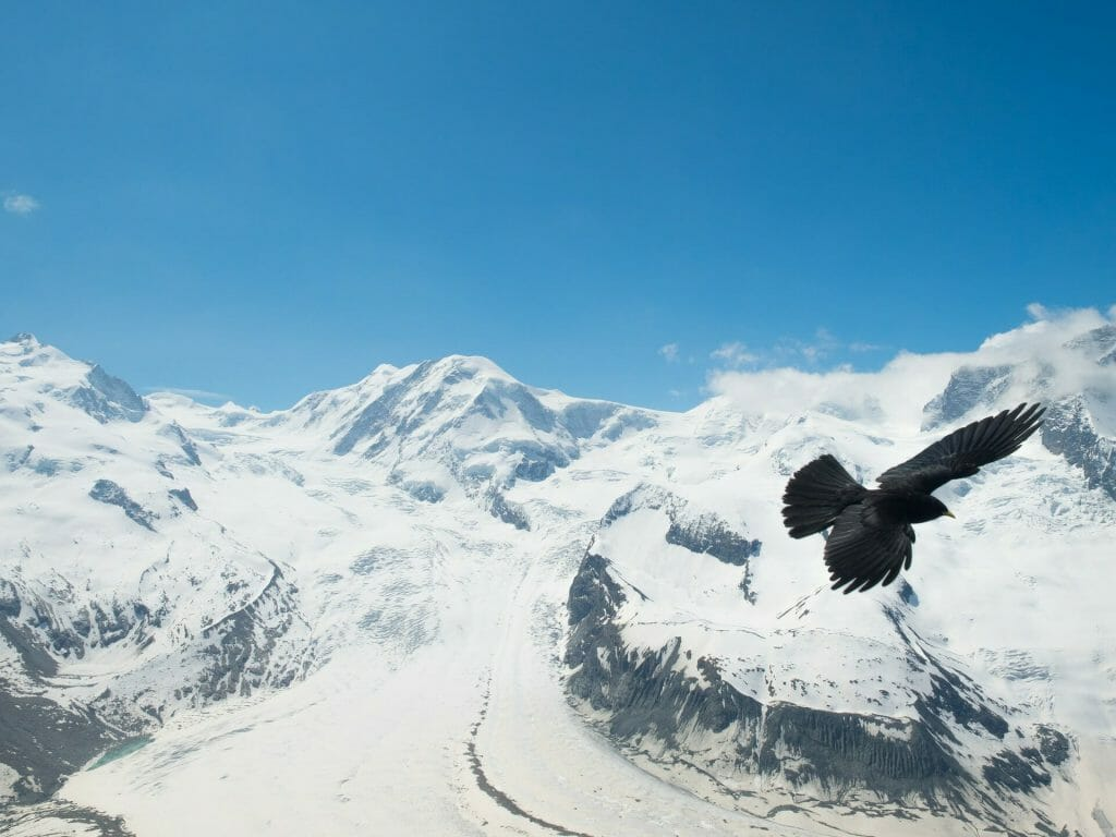 A black crow stark against the snowy Italian alps in the background