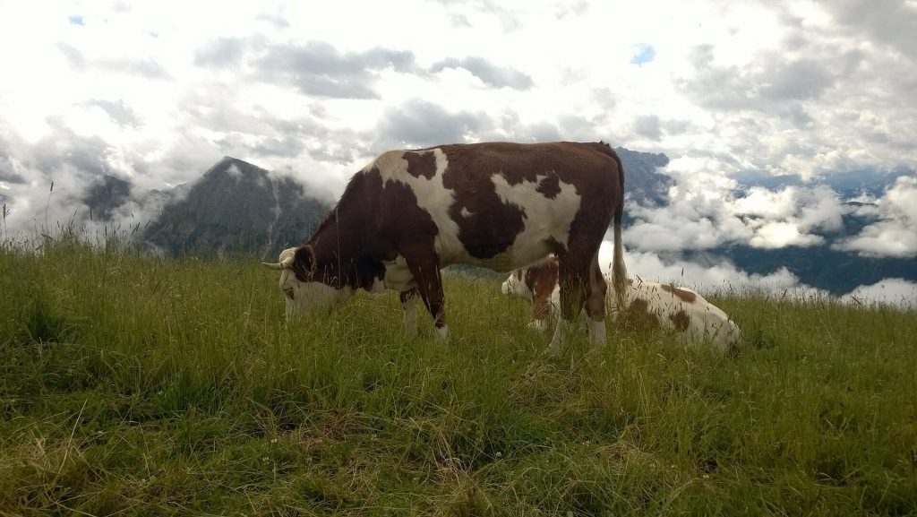 Cow grazing long grass in the South Tyrol Alpines
