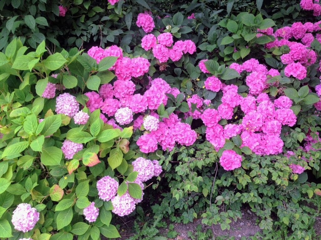 Bushes of dark pink and pastel pink flowers