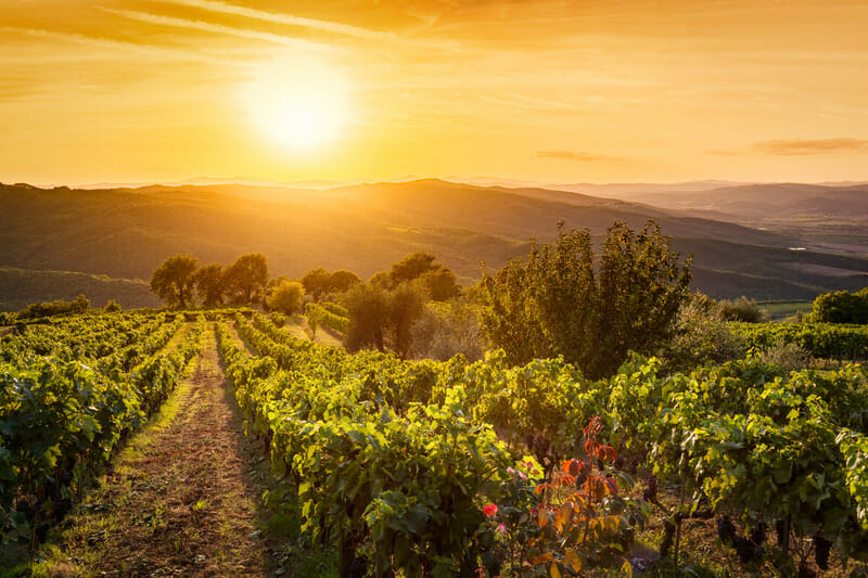 Vineyard wonderful landscape in Tuscany, Italy. Tuscan Vineyard at sunset