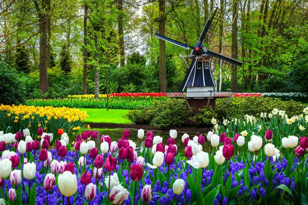 Guide to Keukenhof Garden Tickets - Tulips with small windmill in the back at Keukenhof Garden