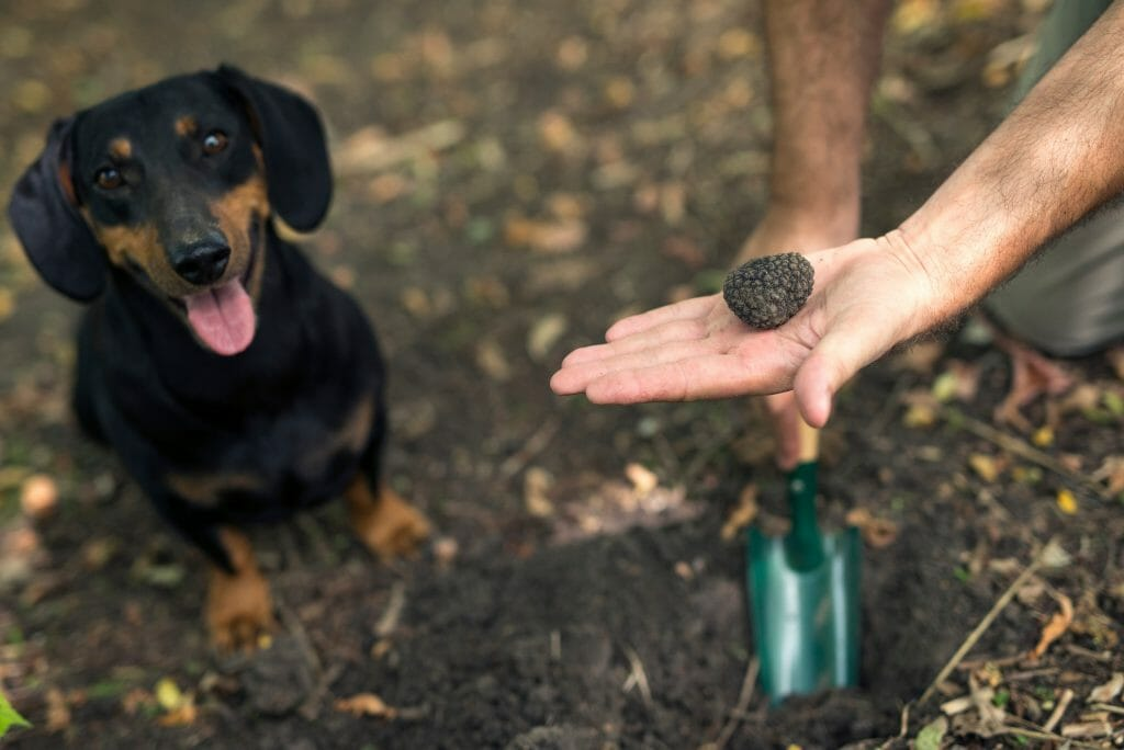 man holding black truffle and truffle hunting tool with truffle hunting dog in the background