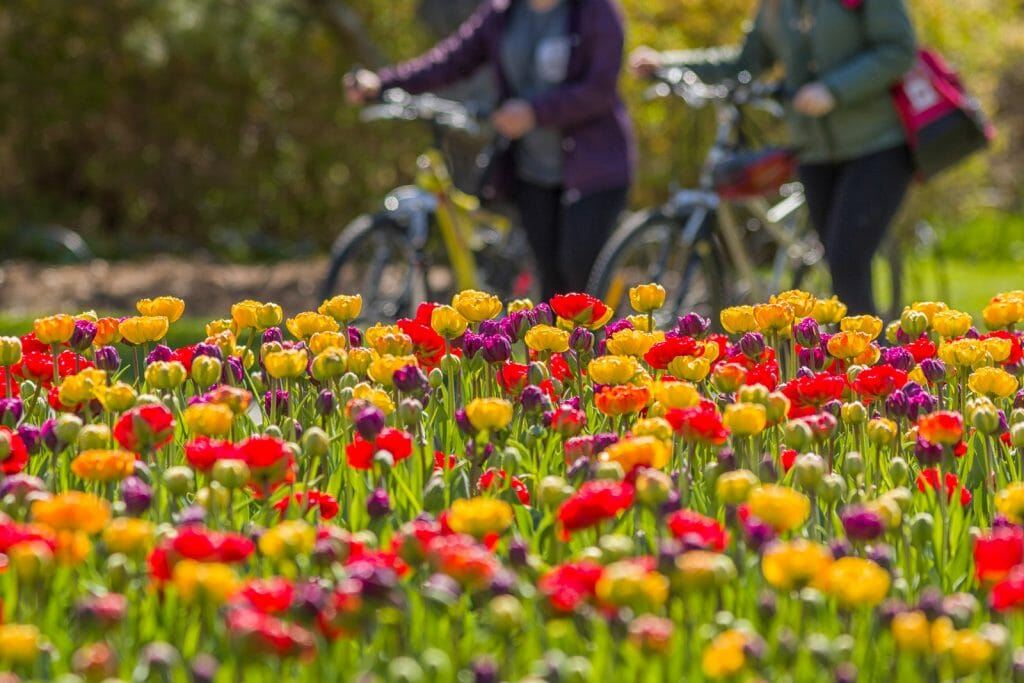 Cyclists walk their bicycles past beds of Tulips