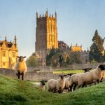 Cotswold sheep near Chipping Campden in Gloucestershire with Church in background at sunrise.